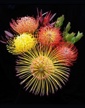 Protea (don't they just look like sea creatures?)