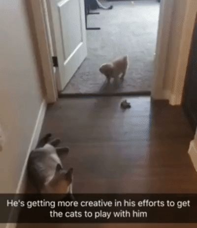 Puppy tries to entice cats to play with him.