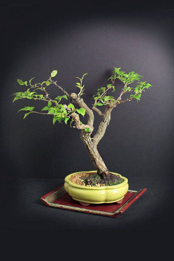 how to make your own bonsai tree
