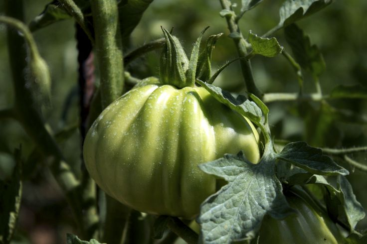 Ed ecco il re di ogni orto che si rispetti: il pomodoro! Nell'Orto giardino di Barbanera ancora non sono giunti a maturazione, ma i pomodori, si sa, sono l'ingrediente fondamentale della cucina italiana.