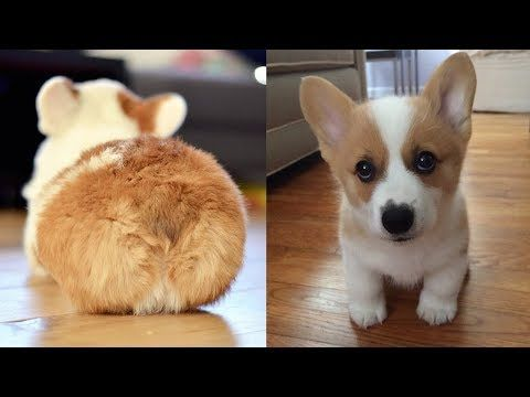 Cute Corgi Puppies Compilation 2019 Cutest Corgi Puppies Ever