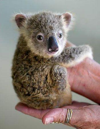 Baby Koala <3