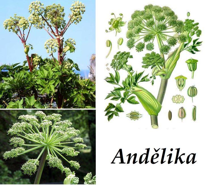 Andělika - účinky na zdraví, co léčí, použití, užívání, využití - Bylinky pro všechny