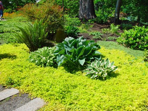 Pin On Plants, Is Creeping Jenny A Good Ground Cover