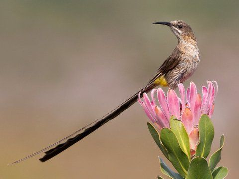 Cape Sugarbird by Hugh Chittenden. For more info on this tour you are welcome to visit: http://www.rockjumperbirding.com/tourinfo/south-africa-cape-wildflowers-birding-big-game-2014?crumb=birding-tours-africa-and-madagascar