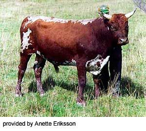 Allmogekor (also known as Peasantry Cows)