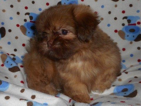 Litter of 6 Shih Tzu puppies for sale in WEST CHICAGO, IL. ADN-39513 on PuppyFinder.com Gender: Male. Age: 9 Weeks Old