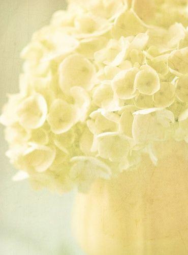 Pale yellow hydrangeas