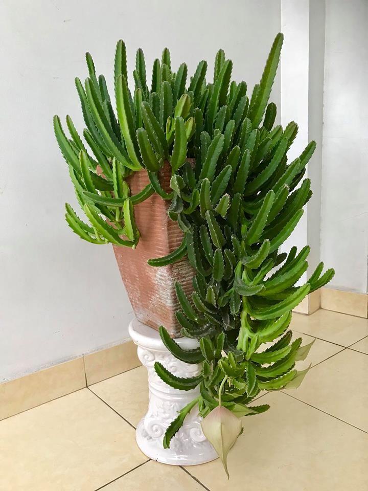 Resultado de imagen de cinta planta plantas plantas - Cinta planta ...