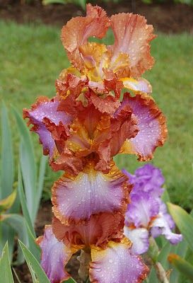 "Tall Bearded Iris ""Competitive Edge"" 