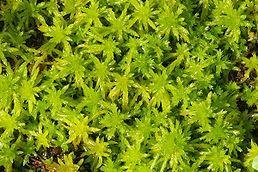 rašeliník(Sphagnum) Rašeliník je mech s neukončeným růstem. Zástupci tohoto rodu mohou ve svých buňkách pojmout velké množství vody. Lístky jsou jednovrstevné. Chlorocysty jsou zelené buňky zajišťující fotosyntézu.
