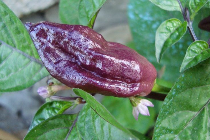 Purple Ghost Chili/ Bhut Jolokia ,also known as Naga Jolokia, Naga Morich, or the Ghost Chili( Organic Seeds) World's Hottest Pepper