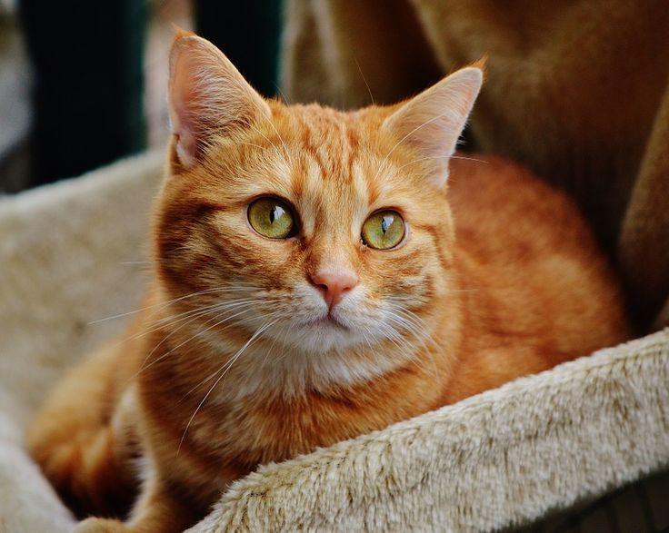Katze, Kater, Rot, Niedlich, Getigert, Tiger, Süß