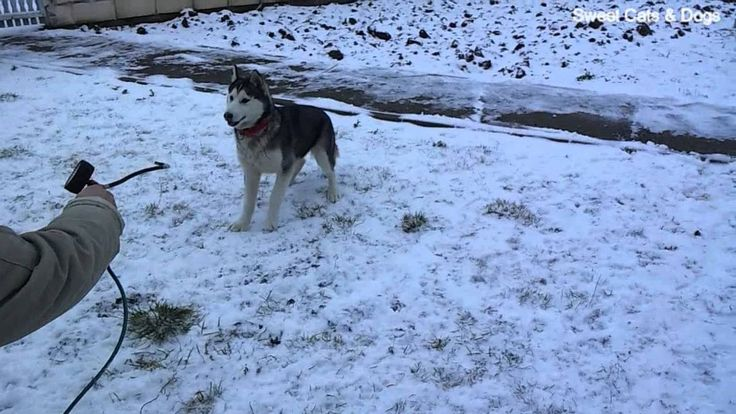 Funny Siberian Husky plays in the SNOW