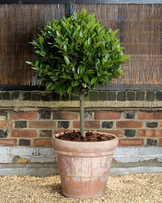 top 25 best trees in pots ideas on pinterest potted trees indoor fruit trees and fruit garden
