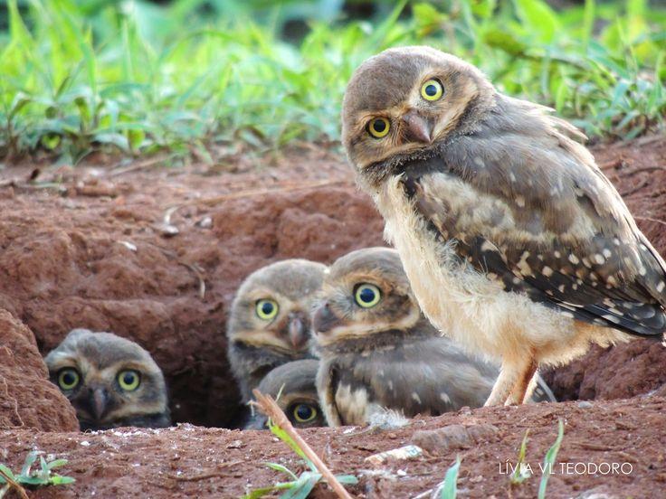 Burrowing Owl Family.. (Uberaba, Minas Gerais, Brazil) Photography: Livia Vieito Lombardi Teodoro Courtesy of The Owl Pages