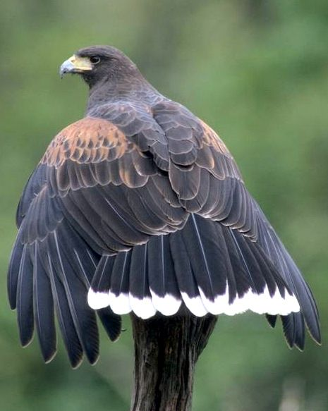 Harris hawk - Wolves of the sky. One of the only raptors that usually hunts in packs