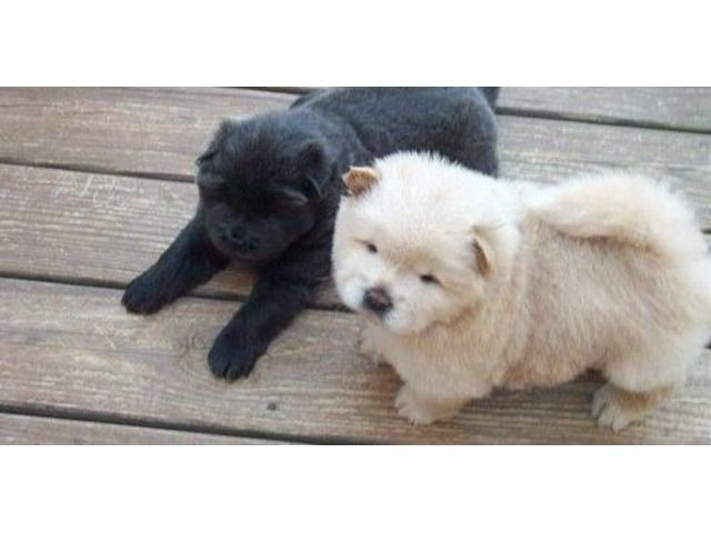 listing accomplished Chow chow puppies for sale ... is published on Free Classifieds USA online Ads - http://free-classifieds-usa.com/for-sale/animals/accomplished-chow-chow-puppies-for-sale-zz_i28864