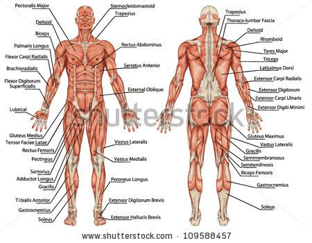 17 best ideas about muscular system on pinterest | human muscular, Muscles