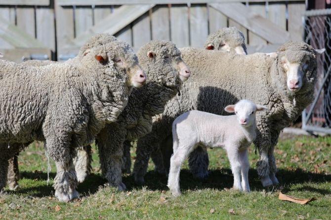 Merino Sheep - Mt Nic Farm, New Zealand