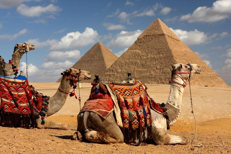 Camels at the pyramids. #camels #pyramids