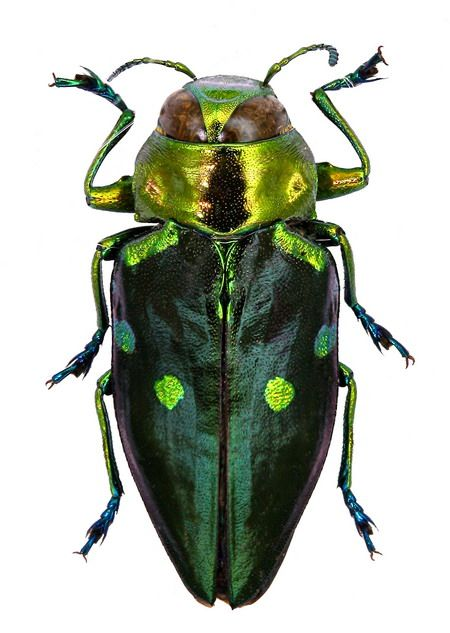 Actenodes obscuripennis