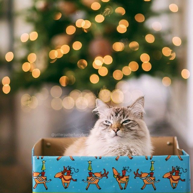 …And to All a Goodnight!  (Photo by @monicasisson)  #christmas #cat  (at  Merry Christmas )