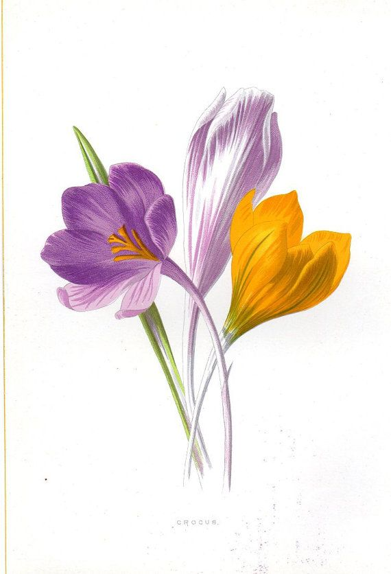 1887 Antique   Botanical Print Crocus Lithograph Original  Art Vintage Flower Home Decor