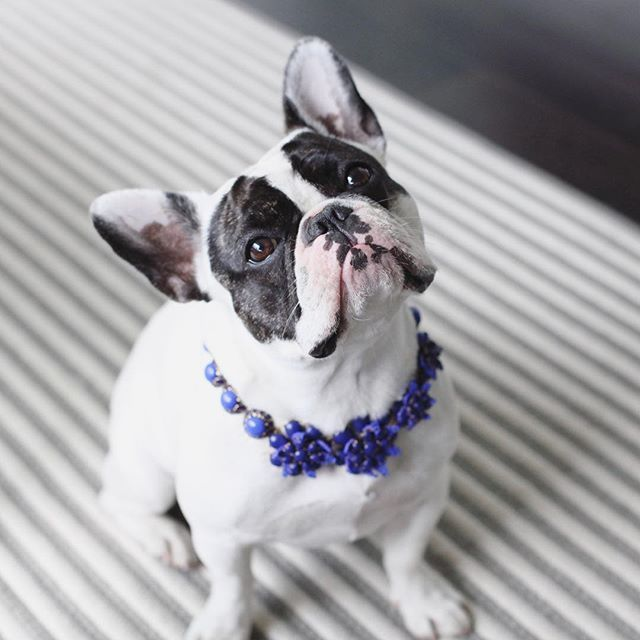 Feeling floral. Violet, the French Bulldog Puppy, @thelifeofvi on instagram