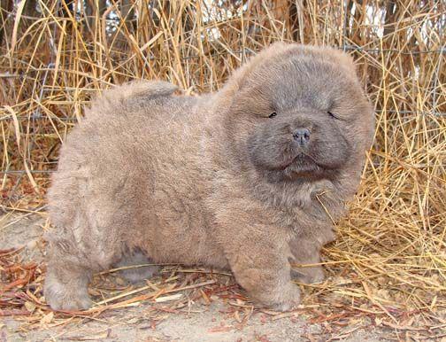Beshia Chow Chows Chow Chow Breeder Alberta Canada Dog Love