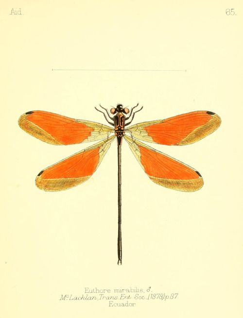 "Dragonflies from ""Aid to the identification of insects"" by..."