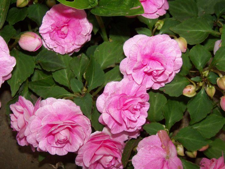 Alegrias del hogar dobles flores pinterest - Planta alegria del hogar ...