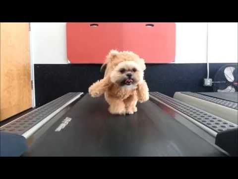 Shih Tzu on a Treadmill in a Teddy Bear Costume. || Cheezburger.com - Crafted from the finest Internets.