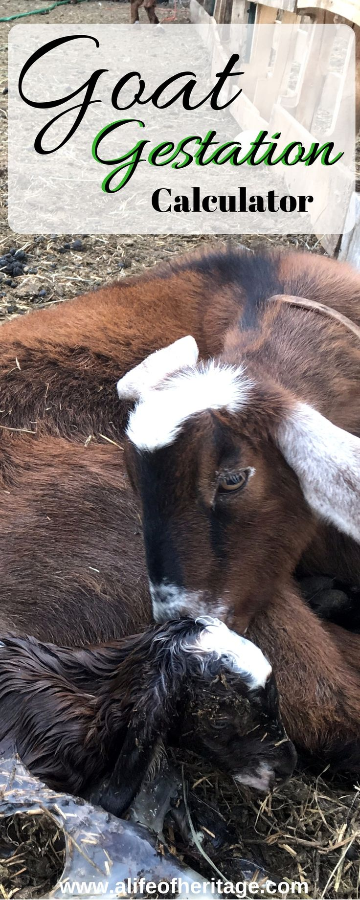 You need to know the best goat care during pregnancy. Pregnant does have many needs to support optimal health. You will also find a FREE goat gestation calculator.