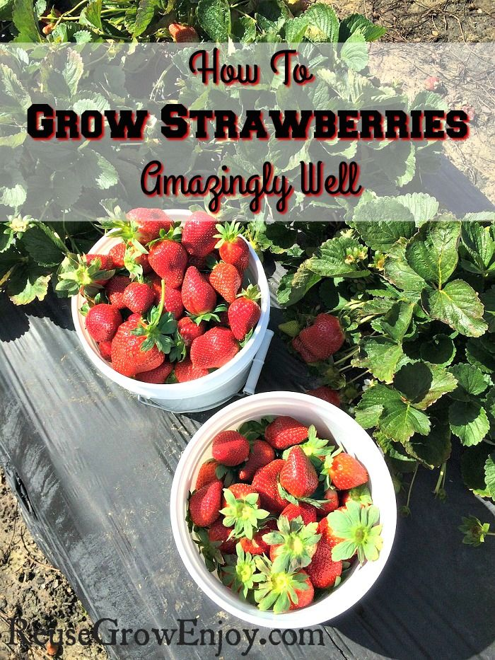 Trend Wanting to grow strawberries You may want to check out these tips on How To