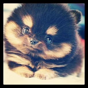 obsessed with pomsky puppies!
