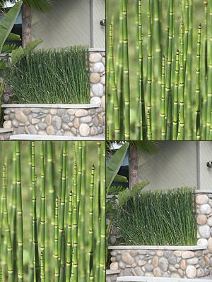 Buy Equisetum Water Bamboo Plants, For Sale Online, How to grow & care for.