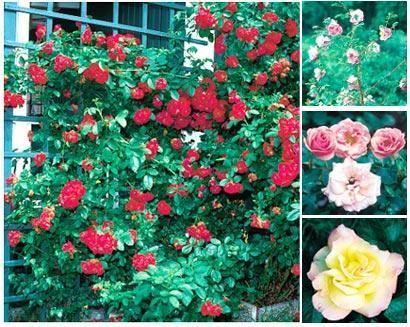 Goda råd! | Gammaldags eller modern, vild eller framodlad. Välj din egen favorit bland rosorna.
