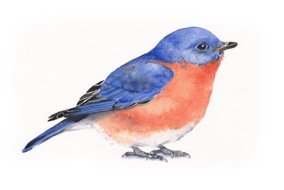 Hey, I found this really awesome Etsy listing at https://www.etsy.com/listing/182816633/bluebird-watercolor-painting-bird-print