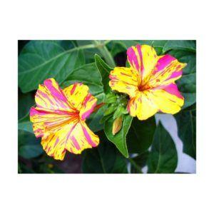 Fitodepurazione del suolo dai metalli pesanti : un fiore ci salverà #fitodepurazione #bonificasuolo #belladinotte #fioriutili #garden #gardening #mirabilisjalapa #sostenibilità