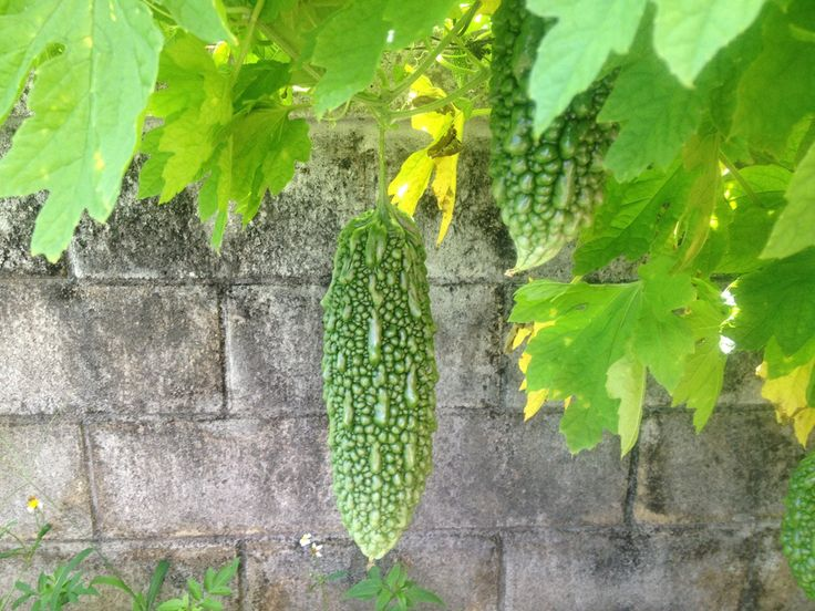 87 best images about homegrown on pinterest gardens easy vegetables to grow and grow your own - Bitter melon culture ...