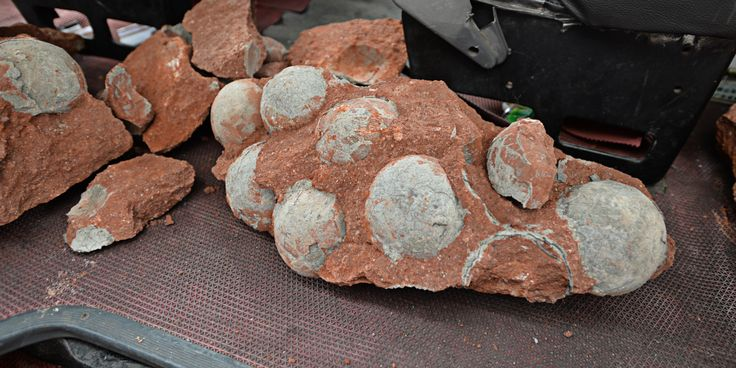 Construction workers in southern China's Guangdong Province made quite a discovery earlier this month.   The crew was working on a road in the city of Heyuan when they discovered 43 fossilized dinosaur eggs, including 19 that were fully intact. The...