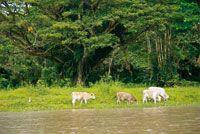 La ganadería es una de las prácticas que más perjudican los suelos de la Amazonia.