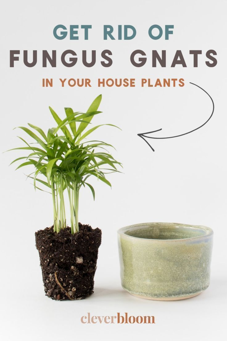 How To Get Rid Of Fungus Gnats In Houseplants In 2020 Large Indoor Plants Tall Indoor Plants Small Indoor Plants