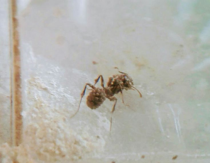 One of my own Messor Barburous ants with severe mite infestation. My poor little guy