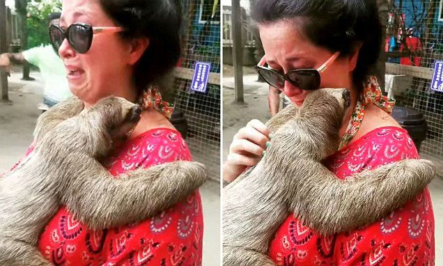 Oh, my God,' she said, while stroking the furry mammal. 'It's so soft.'  Read more: http://www.dailymail.co.uk/news/article-4403840/Woman-breaks-crying-stroking-sloth.html#ixzz4e1pbkFO1 Follow us: @MailOnline on Twitter | DailyMail on Facebook