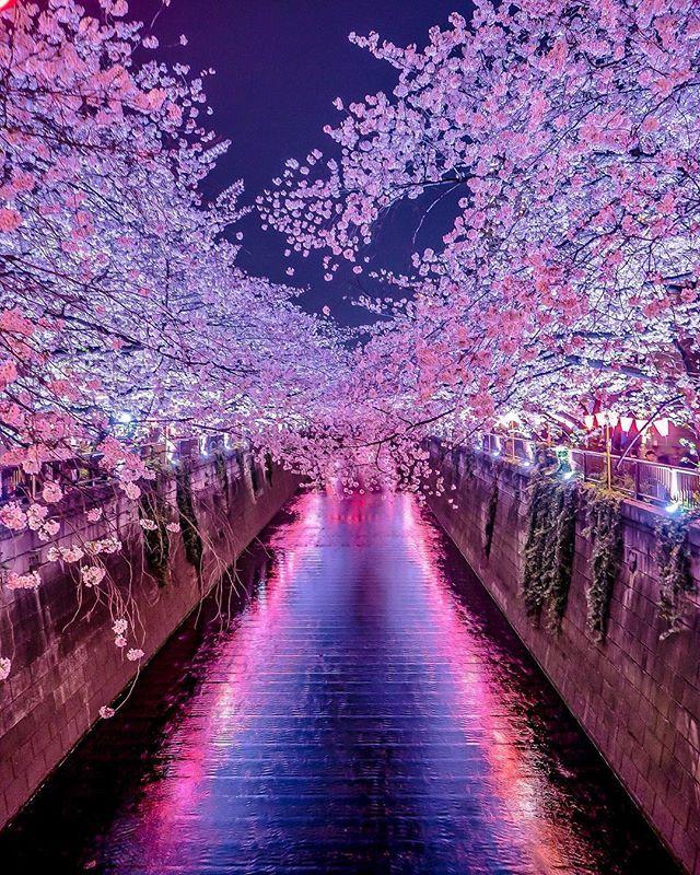 Meguro River Cherry Blossom Walk Beautiful Nature Wallpaper Beautiful Nature Cherry Blossom Wallpaper