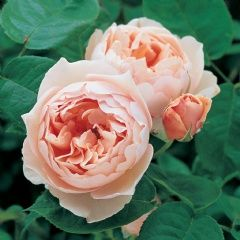 The Shepherdess upright, 3x2 $27  * medium-sized, deeply cupped flowers, exposing a few stamens when fully open *soft apricot-pink colour, fading on the outer petals to pale apricot.  * healthy shrub with upright, bushy growth. *fruity rose fragrance with hints of lemon.