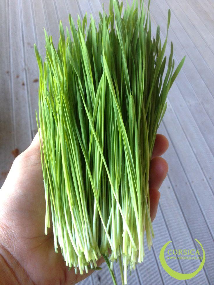 Beautiful Wheatgrass. http://corsica.co.za/