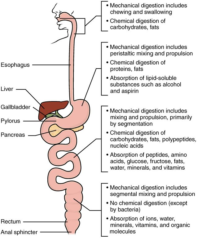 What are some examples of mechanical digestion?